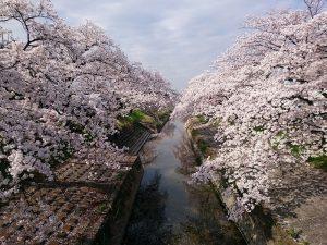 高田川千本桜